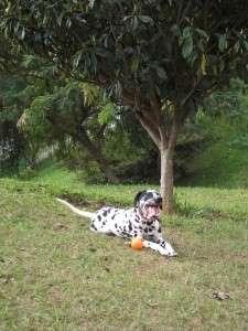 ANIMAL_EMOI_Chien_dalmatien