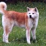 Animal_Emoi_chien_akita_inu