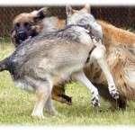 Animal_Emoi_Chiens_Leonberg_et_chien_loup_de_Sarloos_Lâchers